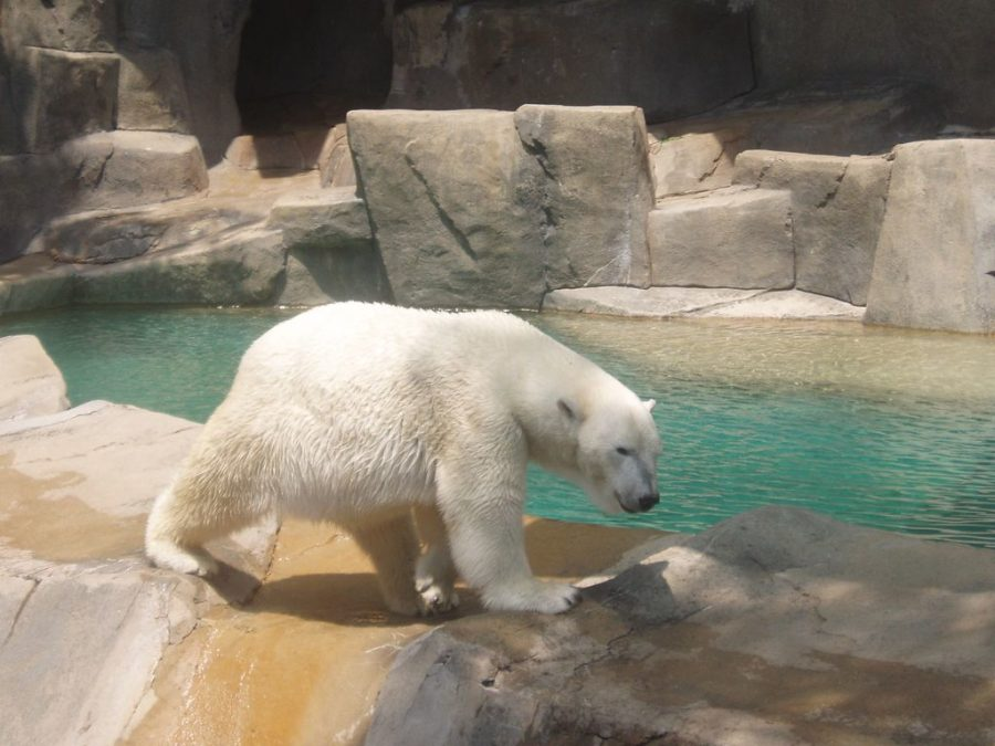 %22Polar+Bear%22+by+Kevin.Ward+is+licensed+under+CC+BY-SA+2.0