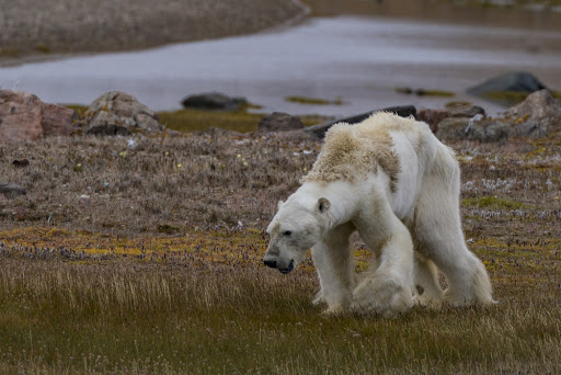 Polar bear starving on land without ice.